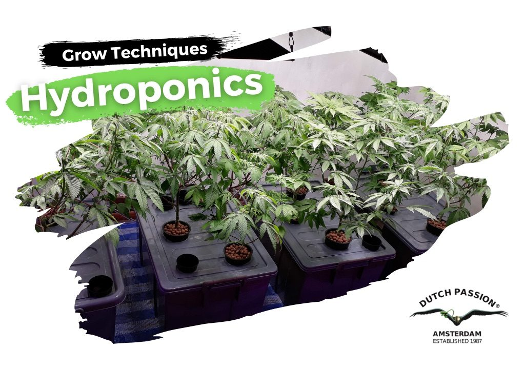 Hydroponic cannabis growing guide