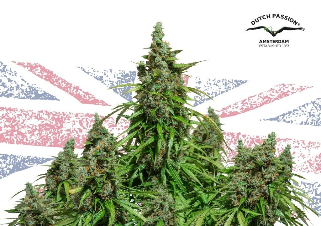 How to grow cannabis outdoors in the UK