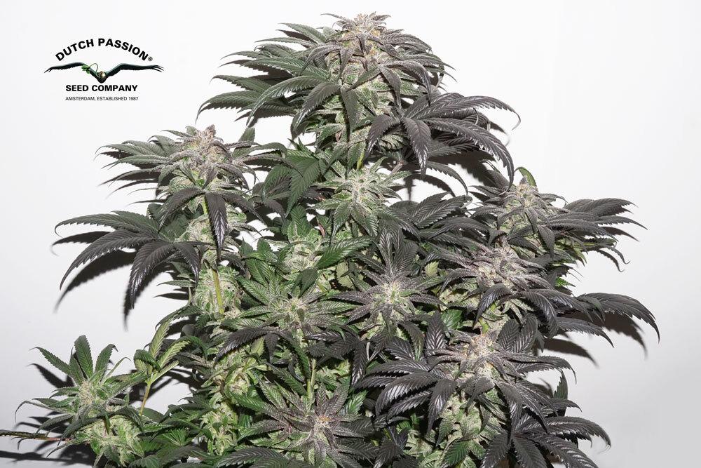 Bubba Island Kush plant cannabis seeds kush