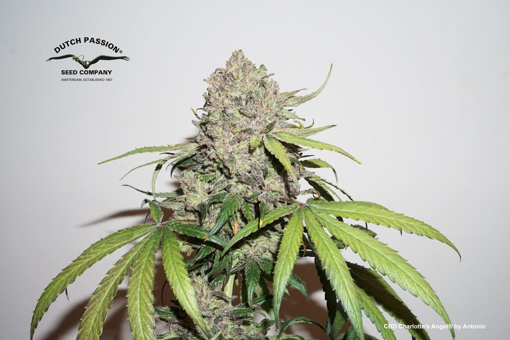 CBD Charlotte's Angel grown organics in light mix soil blended with coco fibre