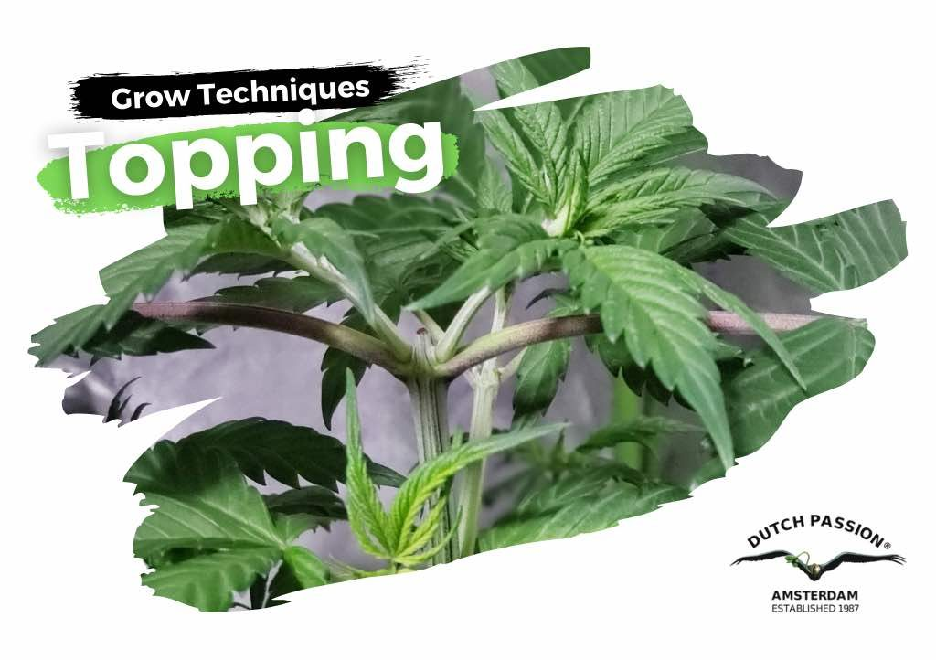Topping cannabis: how does it work and when to do it?