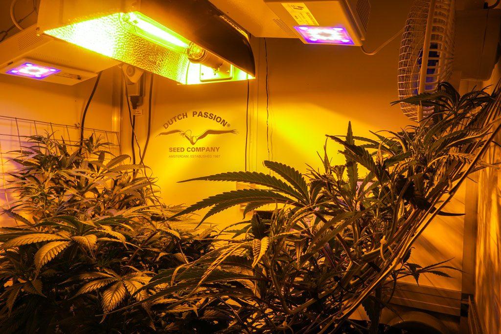 Desfran sativa dominant cannabis grow review by antonio